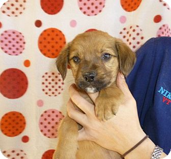 Golden Retriever/Labrador Retriever Mix Puppy for adoption in Oviedo, Florida - Hutson