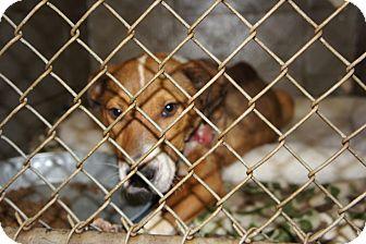Labrador Retriever Mix Dog for adoption in Henderson, North Carolina - Jackie