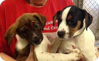 Beagle/Collie Mix Puppy for adoption in Greensburg, Pennsylvania - Mickey