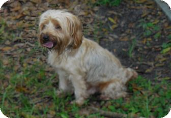 Silky Terrier Mix Dog for adoption in Okeechobee, Florida - Sandy