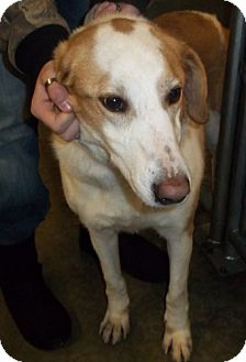 Collie Mix Dog for adoption in Greenville, Kentucky - milly