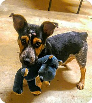 Corgi/Australian Cattle Dog Mix Dog for adoption in Sumter, South Carolina - Cliff
