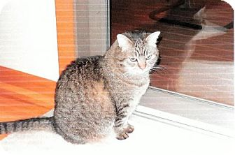 Domestic Shorthair Cat for adoption in Harrisonburg, Virginia - Merlin