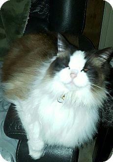 Ragdoll Cat for adoption in Novato, California - Fiona