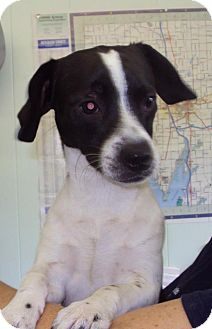 Terrier (Unknown Type, Small) Mix Dog for adoption in Mt. Vernon, Illinois - Bentley