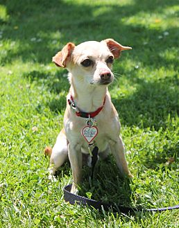 Chihuahua Mix Dog for adoption in Lodi, California - Lenny