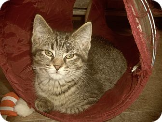 Egyptian Mau Cat for adoption in Medford, Wisconsin - ELIAS