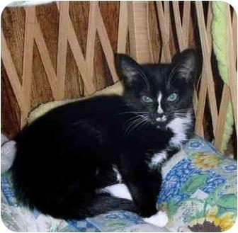 Domestic Shorthair Kitten for adoption in Randolph, New Jersey - Samantha