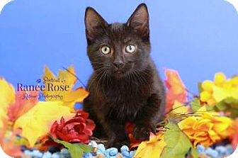 Domestic Shorthair Kitten for adoption in Sterling Heights, Michigan - Ruffles