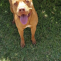 Pit Bull Terrier Mix Dog for adoption in San Dimas, California - Rocky