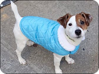 Parson Russell Terrier Dog for adoption in Oakland Gardens, New York - Christian