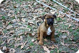 Shepherd (Unknown Type) Mix Puppy for adoption in Allentown, New Jersey - Turnip