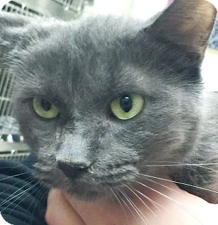 Domestic Shorthair Cat for adoption in Taylor, Michigan - FREYA