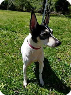 Rat Terrier Mix Dog for adoption in Beacon, New York - Girl