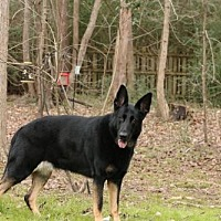 German Shepherd Dog Dog for adoption in Morrisville, North Carolina - Daisey