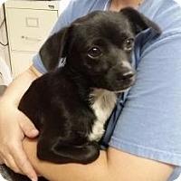 Adopt A Pet :: Laguna - Fresno, CA