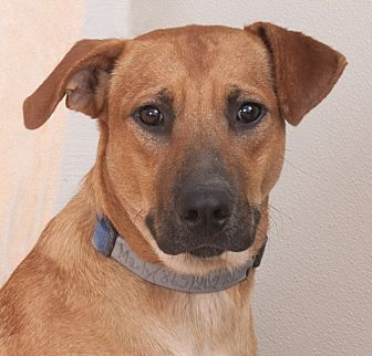Shepherd (Unknown Type) Mix Dog for adoption in Chicago, Illinois - Marky