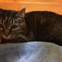 Domestic Shorthair/Domestic Shorthair Mix Cat for adoption in Lynchburg, Virginia - Pretty