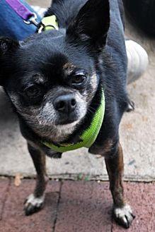 Chihuahua Mix Dog for adoption in Fairfax Station, Virginia - Jonas
