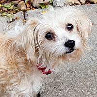 Adopt A Pet :: Blossom - Marina del Rey, CA