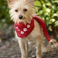 Adopt A Pet :: Joey - Manhattan Beach, CA
