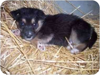 Golden Retriever/Border Collie Mix Puppy for adoption in Cambridge, Maryland - Rover