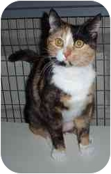 Calico Cat for adoption in Randolph, New Jersey - Gracie