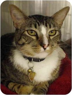 Domestic Shorthair Cat for adoption in Yorba Linda, California - Maxy