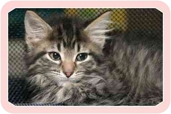 Domestic Mediumhair Kitten for adoption in Sterling Heights, Michigan - Gabby - ADOPTED!