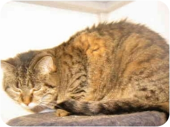 Domestic Shorthair Cat for adoption in Marion, Wisconsin - Jynx