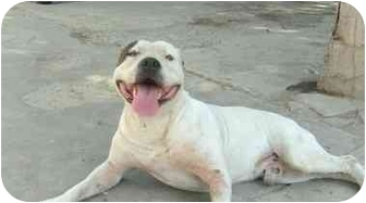 English Bulldog Mix Dog for adoption in Poway, California - CHATT