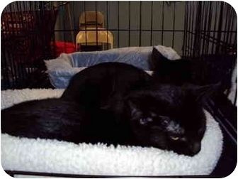 Domestic Shorthair Kitten for adoption in Sterling Heights, Michigan - Burbank