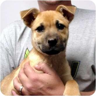 Shepherd (Unknown Type)/Shar Pei Mix Puppy for adoption in Manassas, Virginia - LULU