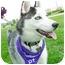 Photo 4 - Husky Puppy for adoption in Detroit, Michigan - Leo