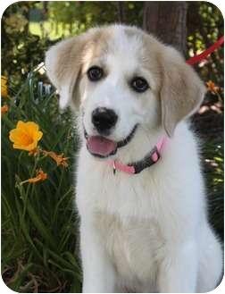Great Pyrenees Puppy for adoption in Wichita, Kansas - Chloe