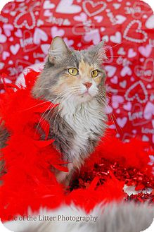 Domestic Longhair Cat for adoption in Scottsdale, Arizona - Gypsy