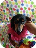 Dachshund Dog for adoption in Jacobus, Pennsylvania - Holly - OH