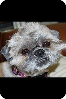 Shih Tzu/Lhasa Apso Mix Dog for adoption in Brea, California - Frankie