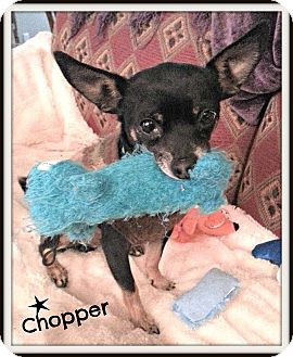 Chihuahua Mix Dog for adoption in Homewood, Alabama - Chopper