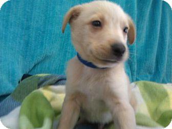 Labrador Retriever Mix Puppy for adoption in Waldorf, Maryland - Todd #438