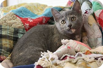 Domestic Shorthair Kitten for adoption in Knoxville, Tennessee - Lexi