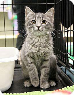 Domestic Shorthair Kitten for adoption in Plano, Texas - CHERI - SWEET BABY GIRL!!