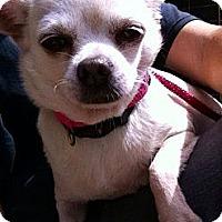 Adopt A Pet :: Cream Puff - Brooksville, FL