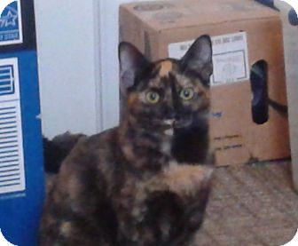 Domestic Shorthair Cat for adoption in Colmar, Pennsylvania - Sapphire