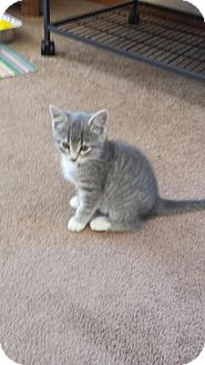 Domestic Shorthair Kitten for adoption in Rockford, Illinois - Meadow