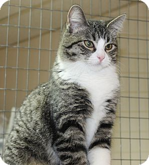 Domestic Shorthair Kitten for adoption in Seville, Ohio - Simone