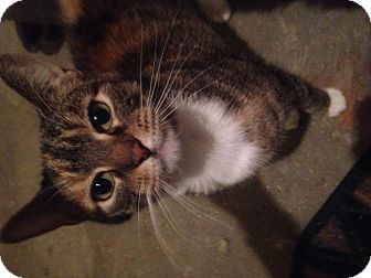 Domestic Shorthair Cat for adoption in East McKeesport, Pennsylvania - Willow