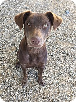 Labrador Retriever/Pointer Mix Dog for adoption in Chino Valley, Arizona - Sunny