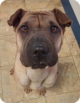 Shar Pei Dog for adoption in Apple Valley, California - Naya in TX - pending