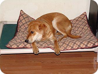 Labrador Retriever Mix Dog for adoption in Spring Valley, New York - Goldman (sharp)